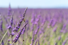 Lavender flowers with bee in France Royalty Free Stock Image