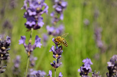 Lavender flowers with bee Royalty Free Stock Image