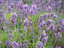 Lavender flowers with bees collecting nectar stock photo