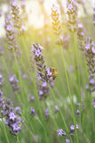 Lavender flowers with bees morning when the wind blows. Royalty Free Stock Photos