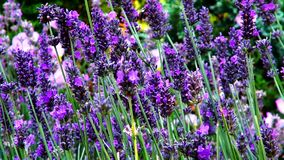 Lavender flowers with bees. stock video footage
