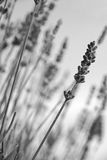 Lavender flowers. In black and white toned. Lavender flowers can use as background. In black and white toned Stock Image
