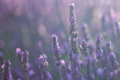Lavender flowers in bloom Royalty Free Stock Photos