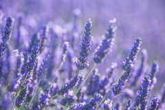 Lavender flowers in bloom Royalty Free Stock Photography