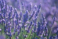 Lavender flowers in bloom Stock Image