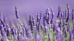 Lavender flowers in bloom. Closeup of lavender flowers blooming in Provence, France