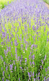 Lavender Flowers in Bloom Stock Photo