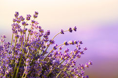 Lavender flowers bloom  summer time Royalty Free Stock Images