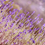 Lavender flowers bloom summer  time Royalty Free Stock Image