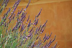 Lavender flowers blooming Stock Images