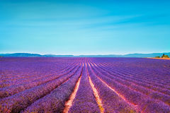 Lavender flowers blooming field and clear sky. Valensole, Proven Royalty Free Stock Photo
