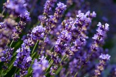 Lavender flowers blooming on the field. Close-up. The Lavender flowers blooming on the field. Close-up royalty free stock photography