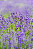 Lavender flowers blooming in a field Stock Photos