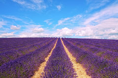 Lavender flowers blooming field and cloudy sky. Valensole, Prove Stock Image