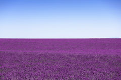 Lavender flowers blooming field horizon as background, pattern o Stock Photography