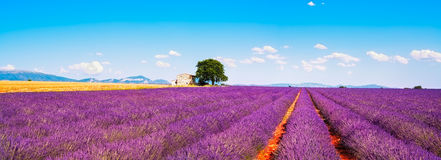 Lavender flowers blooming field, house and tree. Provence, Franc. Lavender flowers blooming field, wheat, house and lonely tree. Panoramic view. Plateau de Stock Photos