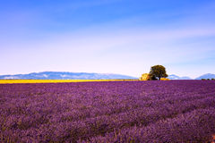 Lavender flowers blooming field, house and tree. Provence, France Royalty Free Stock Photo