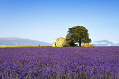 Lavender flowers blooming field, house and tree Royalty Free Stock Images
