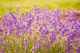 Lavender flowers blooming in field Royalty Free Stock Photos