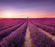 Lavender and lonely trees uphill on sunset. Provence, France Stock Photos