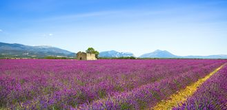 Lavender flowers blooming field, old house and tree. Provence, F. Lavender flowers blooming field, wheat, old house and lonely tree. Panoramic view. Plateau de Stock Photography