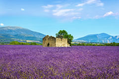 Lavender flowers blooming field, old house and tree. Provence, F. Lavender flowers blooming field, wheat, old house and lonely tree. Panoramic view. Plateau de royalty free stock photo