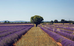 Lavender flowers blooming field Royalty Free Stock Photography