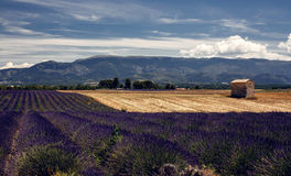 Lavender flowers blooming field Royalty Free Stock Images