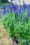Lavender flowers blooming in a field during summer Stock Photo