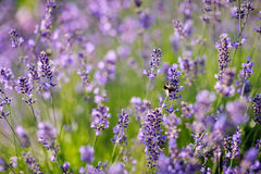 Lavender flowers blooming in a field Royalty Free Stock Photo
