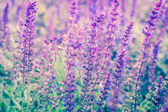 Lavender flowers blooming in a field during summer Stock Photos