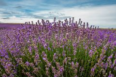 Lavender flowers blooming in a field during summer stock image