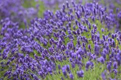 Lavender flowers blooming in the garden, beautiful lavender field. Royalty Free Stock Photography