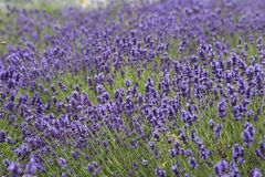 Lavender flowers blooming in the garden, beautiful lavender field Stock Photo