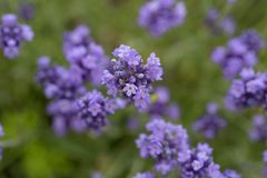 Lavender flowers blooming in the garden, beautiful lavender field.  Royalty Free Stock Photo