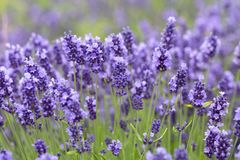 Lavender flowers blooming in the garden, beautiful lavender field. Royalty Free Stock Image