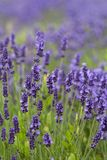 Lavender flowers blooming in the garden, beautiful lavender field. Royalty Free Stock Images