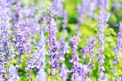 Lavender flowers blooming in the garden. royalty free stock photo