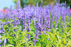 Lavender flowers blooming in the garden. stock photos