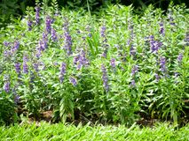 Lavender flowers blooming in the garden. Lavender blooming in the garden. Lavender is a type of plant found on almost all continents. It has a purplish colour stock photo