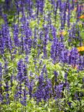 Lavender flowers blooming in the garden. Lavender blooming in the garden. Lavender is a type of plant found on almost all continents. It has a purplish colour royalty free stock images