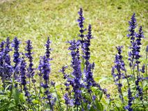Lavender flowers blooming in the garden. Lavender blooming in the garden. Lavender is a type of plant found on almost all continents. It has a purplish colour royalty free stock photos