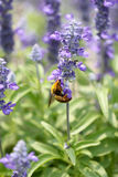 Lavender flowers blooming in garden and the wasp collect nectar. Royalty Free Stock Photos