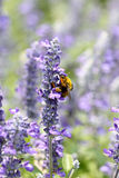 Lavender flowers blooming in garden and the wasp collect nectar. Stock Photo