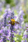 Lavender flowers blooming in garden and the wasp collect nectar. Stock Photography