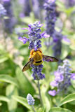 Lavender flowers blooming in garden and the wasp collect nectar. Stock Images