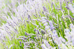 Lavender flowers blooming in the meadow Stock Images
