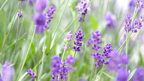 Lavender flowers blooming purple color good fragrant. Lavender flowers blooming which have purple color and good fragrant for relaxing in summer royalty free stock image
