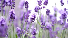 Lavender flowers blooming purple color good fragrant. Lavender flowers blooming which have purple color and good fragrant for relaxing in summer stock images
