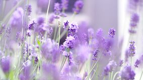 Lavender flowers blooming purple color good fragrant. Lavender flowers blooming which have purple color and good fragrant for relaxing in summer stock photos